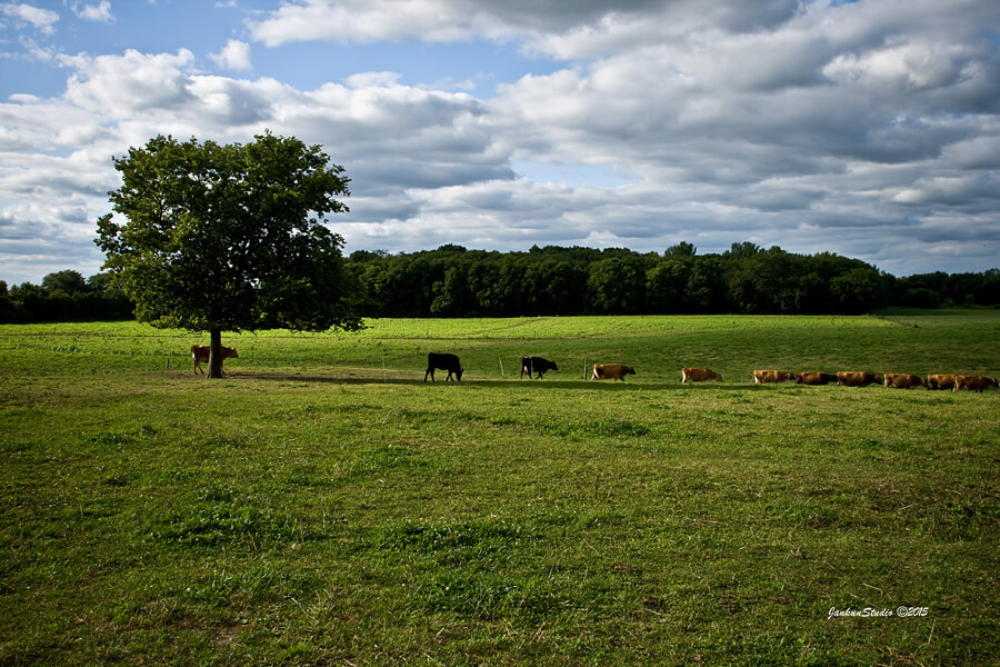 cows in pasture on sunny day