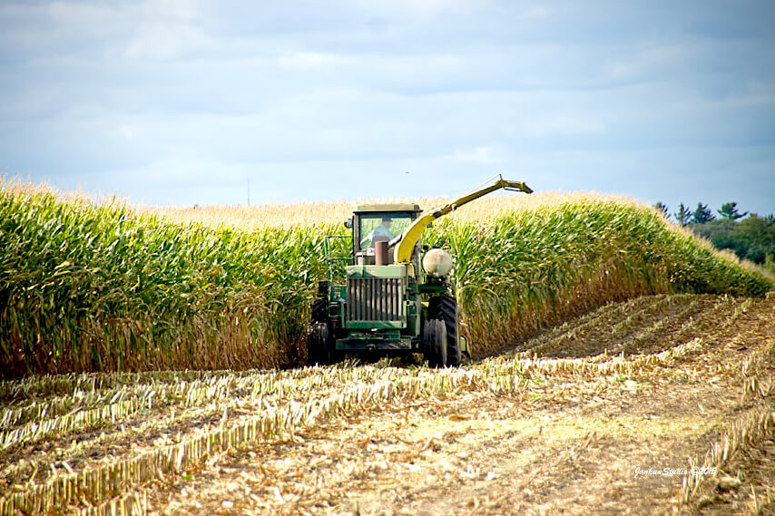 harvesting corn in the field