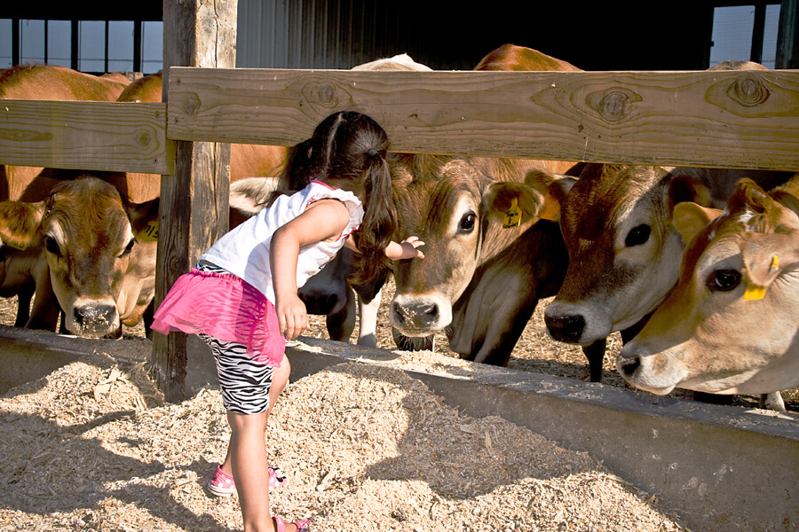 little girl petting a cow