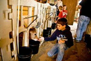boy lets calf snif his hand
