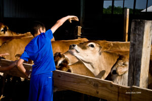 boy in blue with steers
