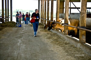 tour group with jersey cows