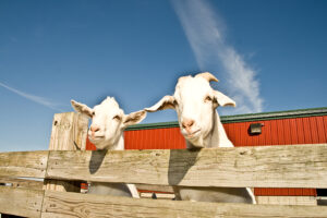 two white goats with blue sky and red barn